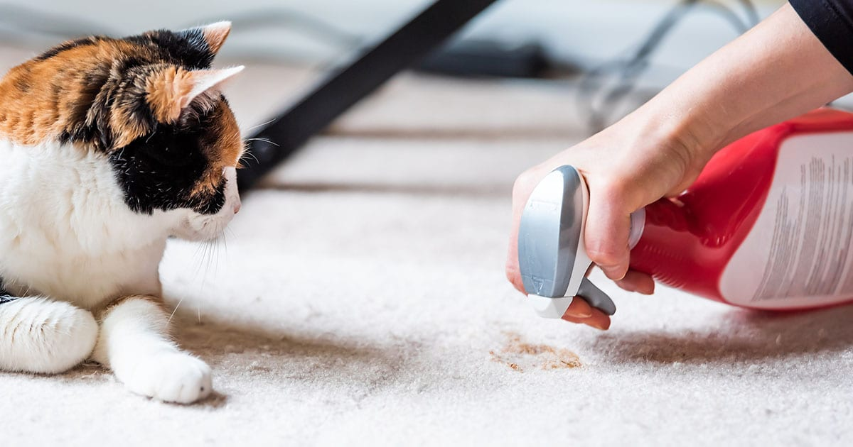 cat looking at owner cleaning mess on carpet