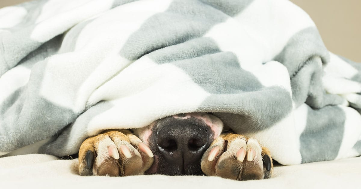 Nose and paws of dog sticking out of  blanket